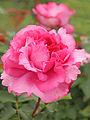 Rose, Yves Piaget, バラ, イヴ ピアジェ, (15609824370).jpg