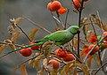 Rose-ringed Parakeet (Psittacula krameri) (22680294308).jpg