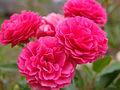 Rose Orange Special バラ オレンジスペシャル (6334533896).jpg