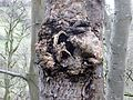 Rotted Burr at Kingencleugh, River Ayr.JPG