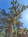 Roverella campi salentina, dettaglio del tronco.jpg