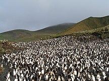 Macquarie Island-Flora and fauna-RoyalPenguins4