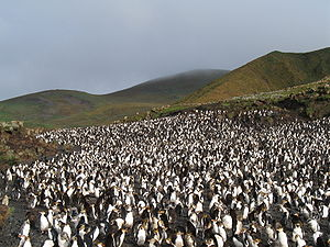 Antipodes Subantarctic Islands tundra - A royal penguin rookery on Macquarie Island.