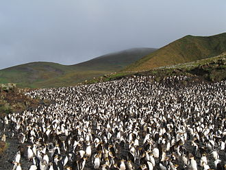 Macquarie Island - A royal penguin rookery on Macquarie Island.