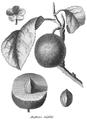 Rozier - Cours d'agriculture, tome 8, pl. 29, damas violet.png