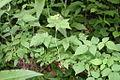 Rubus allegheniensis plant ARS-02.jpg