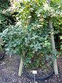 Rubus goniophorus - Botanischer Garten, Frankfurt am Main - DSC02463.JPG