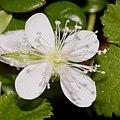 Rubus pedatus (flower s3 trim).jpg