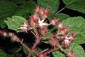 Rubus phoenicolasius 5449900.jpg