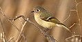 Ruby-crownedKinglet-29JAN2017.jpg