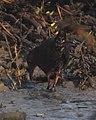 Ruddy-breasted Crake Porzana fusca by Dr. Raju Kasambe DSCN8285 (7).jpg