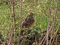 Rufous-naped Lark (Mirafra africana), adult.jpg