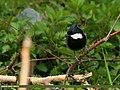 Rufous-naped Tit (Periparus rufonuchalis) (23824708496).jpg