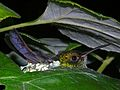 Rufous-tailed Hummingbird (Amazilia tzacatl) on its nest (6777174443).jpg