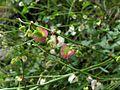 Rumex scutatus PID1750-3.jpg