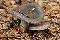 Russula cyanoxantha (45202732211).jpg
