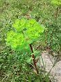 Sütləyən (sütleğen) bitkisi.jpg