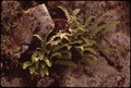 SOME OF THE RARE FERNS FOUND ON THE SHORE OF THE NISSITISSET RIVER, A BRANCH OF THE NASHUA, NEAR THE TOWN OF PEPPERELL - NARA - 553358.tif