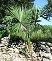 Sabal yapa-Yucatán.jpg