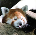 Sacramento zoo red panda cropped.jpg