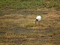 Sacred ibis in Tanzania 4182 Nevit.jpg
