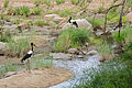 Saddle-billed Storks (Ephippiorhynchus senegalensis) couple in Timbavati riverbed (17173146907).jpg
