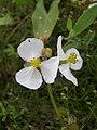 Sagittaria cuneata flowers-8-02-05.jpg