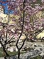 Saint Petersburg. Chinese Garden. Sakura tree2014 09.jpg