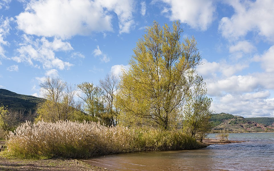Shore of the Salagou Lake. The plants on the left are Phragmites australis and the trees are Salix. Liausson, Hérault, France.