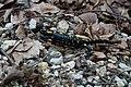 Salamandra salamandra (51114746120).jpg