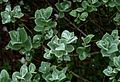 Salix lanata - Flickr - peganum.jpg