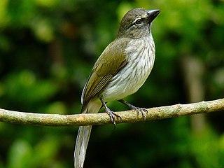 Streaked saltator species of bird