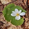 Sanguinaria canadensis - Durham Regional Forest.jpg