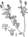Sanguisorba annua drawing.png