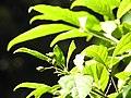 Saprosma ternatum DSCN1447 01.jpg