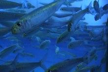 Dosya: Sardines.ogv
