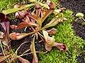 Sarracenia psittacina X purpurea, exhibition in Botanical garden Brno.JPG