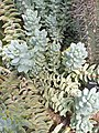 Saxifragales - Echeveria sp. - 12.jpg