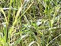 Scaly-breasted Munia (Spotted Munia) - Lonchura punctulata - DSC03481.jpg