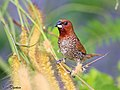 Scaly breasted munia or spotted munia (Lonchura punctulata) (22617511032).jpg