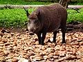 Scheinbar überfordert bei der Auswahl Wildpark Alte Fasanerie Juni 2012 Wildschwein..JPG