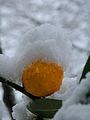 Schnee Orange, Citrus × aurantium 3.JPG