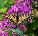 Schwalbenschwanz - Schmetterling IMG 2261.jpg
