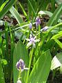 Scilla lilio-hyacinthus00.jpg