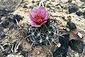 Sclerocactus parviflorus ssp macrospermus fh 69 02 UT BB.jpg
