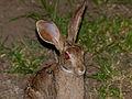 Scrub Hare (Lepus saxatilis) (11966999584).jpg