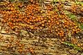Scutellinia sp. (4501244295).jpg