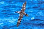 Seabirds of the Drake Passage crossing to the Antarctic Peninsula.Giant Petrel (Macronectes giganteus). (25903540941).jpg