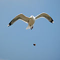 Seagull dropping clam.jpg