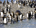 Seal and king penguins.jpg